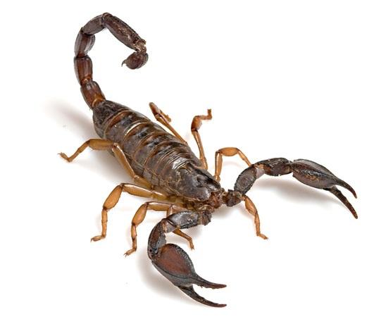 Dedetização de Escorpiões